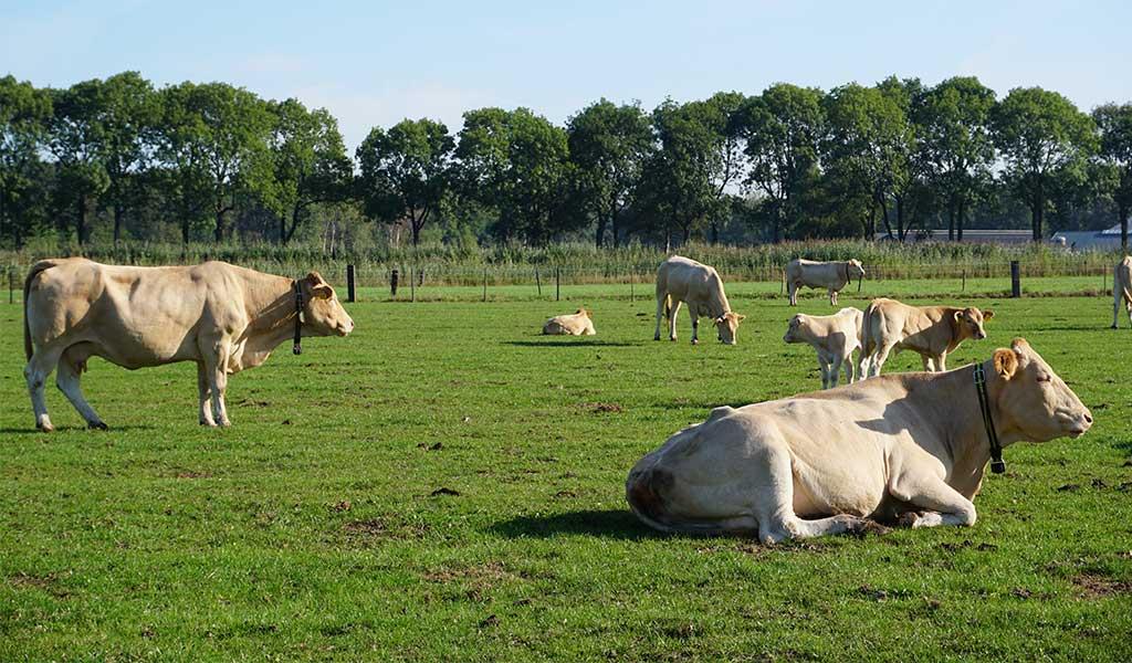 Blonde d'Aquitaine koeien in weiland