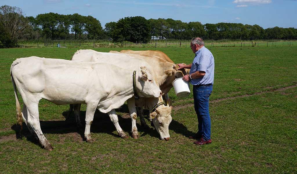 Johan met zijn koeien (II)
