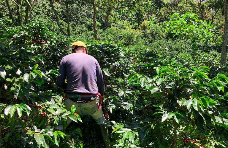 verse-koffiebonen-oogsten