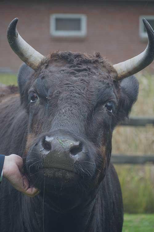 Wagyu koe uit Delden